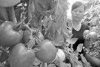 新疆兵团新品种西红柿受青睐