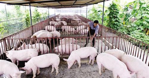 非洲猪瘟疫情得到控制 24省区解除疫区封锁