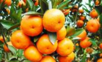 湖南湘西州柑橘开园签2.87亿元大单